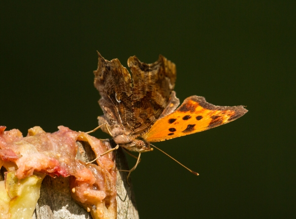 Comma feeding on fig