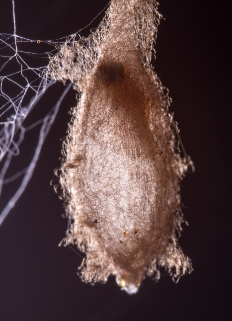 Developing wasp inside cocoon