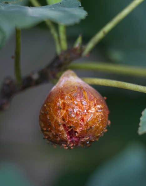 Fig with fruit flies