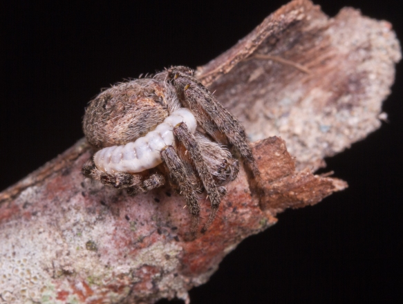 Orb Spider with parasitic grub 1