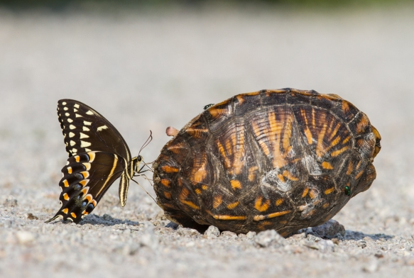 Palamedes Swallowtail on dead box turtle