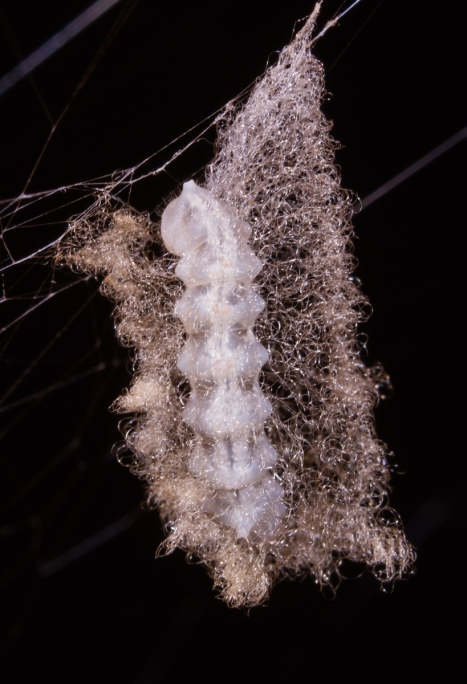 Parasitic grub spinning cocoon