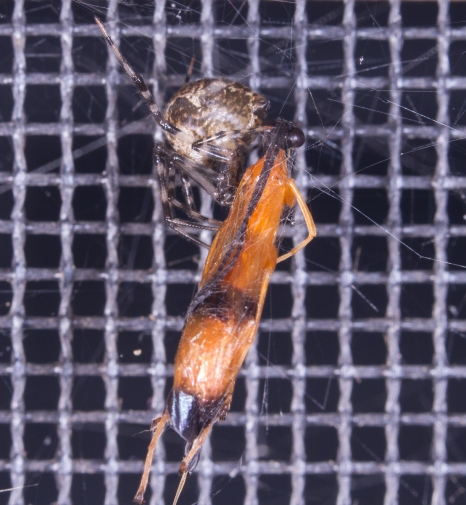 Parasitic Wasp captured by spider