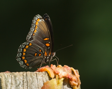 Red-spotted Purple on fence post