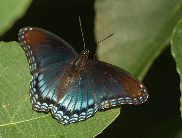 Red-spotted Purple spread wing
