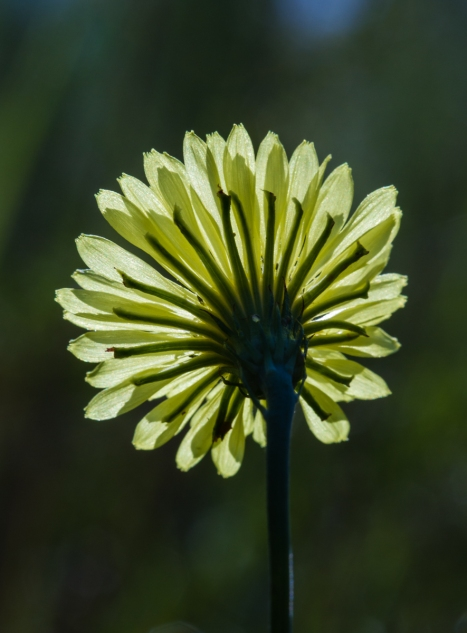 Back view of False Dandelion flower as it faces the morning sun