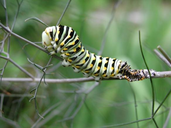 black swallowtail caterpillar after molt
