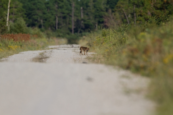 Bobcat after it came back out on the road