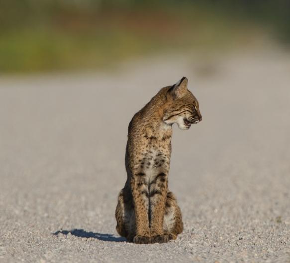 Bobcat sitting 2