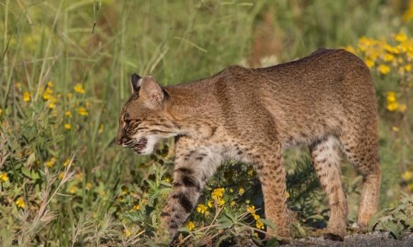 Bobcat steps into vegetation
