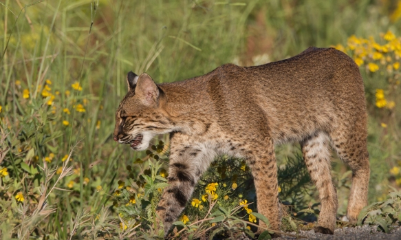 Bobcat steps into vegetation