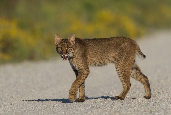 Bobcat walking toward road edge looking at us