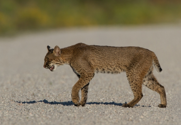 Bobcat walking toward road edge