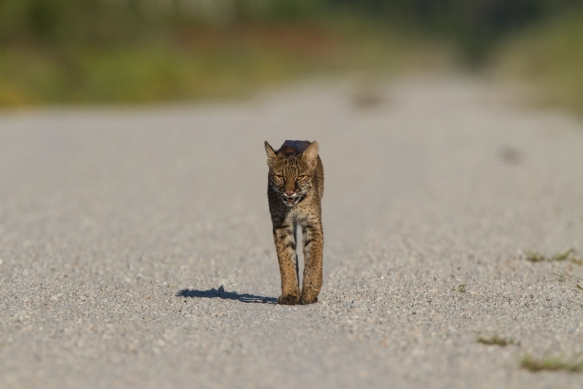 Bobcat walking toward us