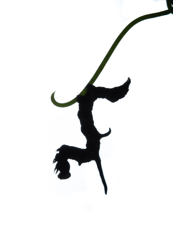 Curve-lined Owlet caterpillar silhouette