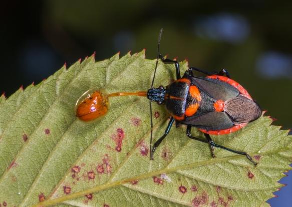 Florida Predatory Stinkbug