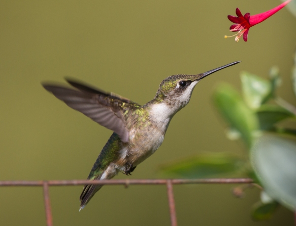 Hummingbird approaching flower