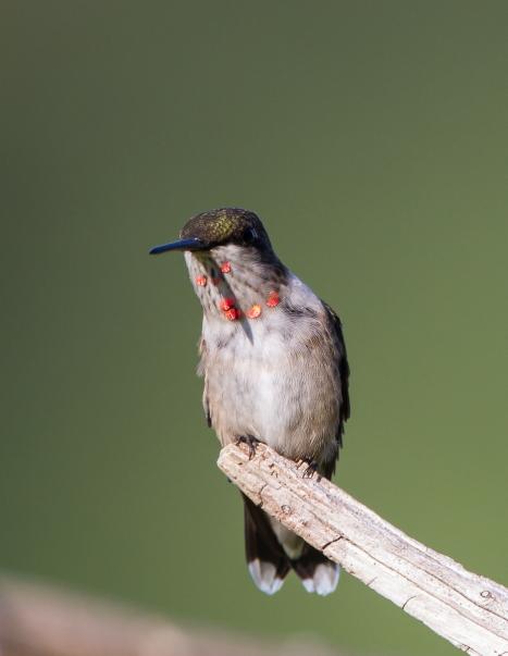 Hummingbird immature male