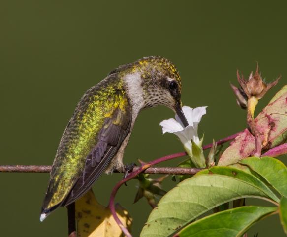 Hummingbird nectaring at small morning glory