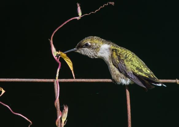 Hummingbird rubbing bill