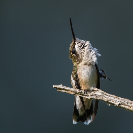 Hummingbird scratching 1