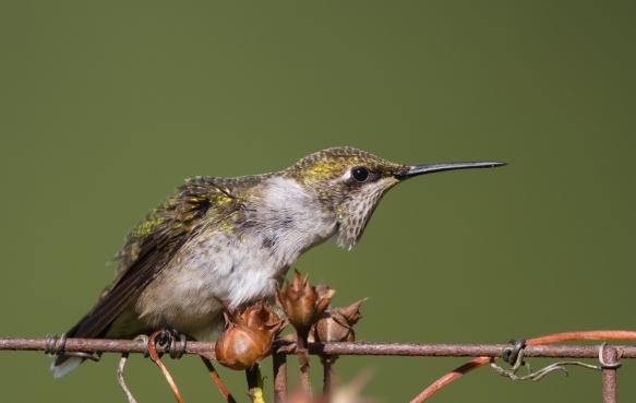 hummingbird threat display 1