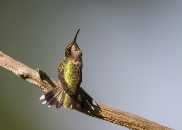 hummingbird threat display