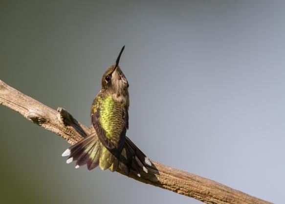 hummingbird threat display