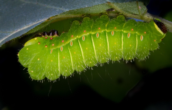 Luna caterpilar on Persimmon
