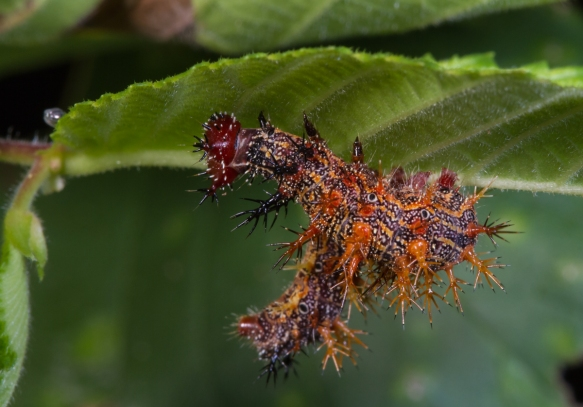 Question Mark larva late instar 1