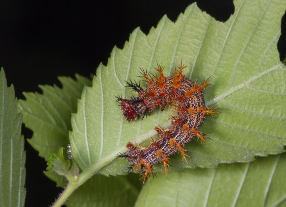 Question Mark larva late instar