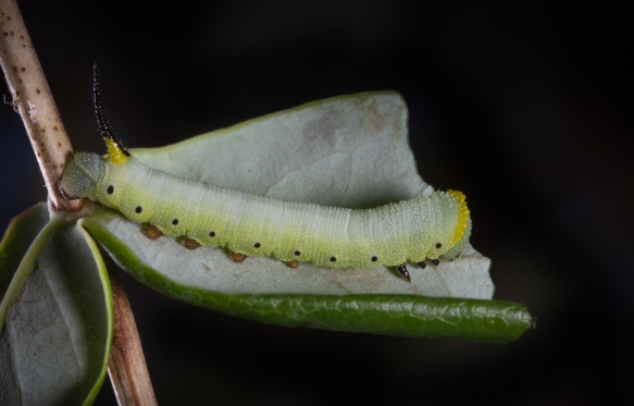 Snowberry Clearwing larva mid instar
