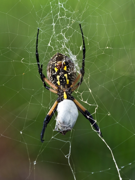 Argiope with prey