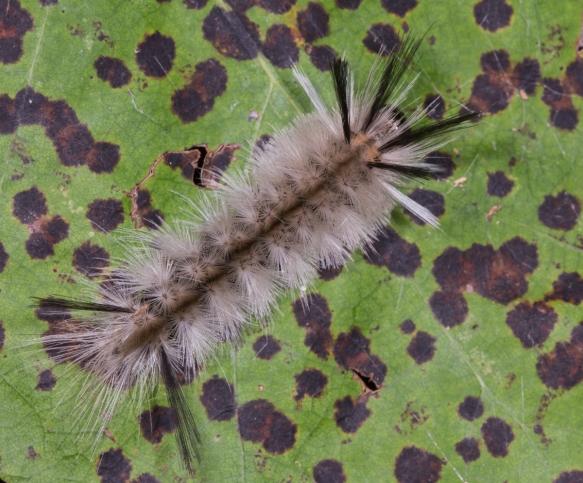 Banded Tussock on spotted leaf 1