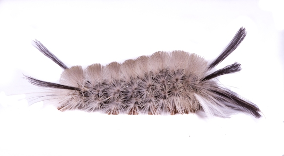 Banded Tussock side view
