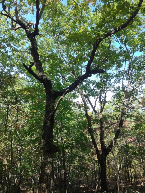 Chestnut Oak forest