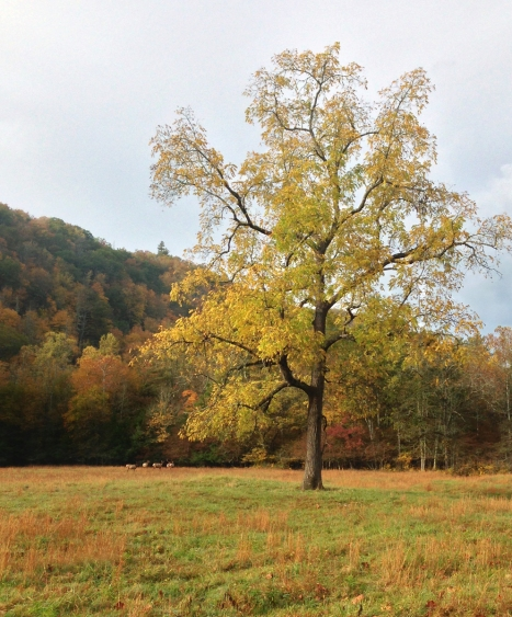 Elk meadow in Cataloochee Valley