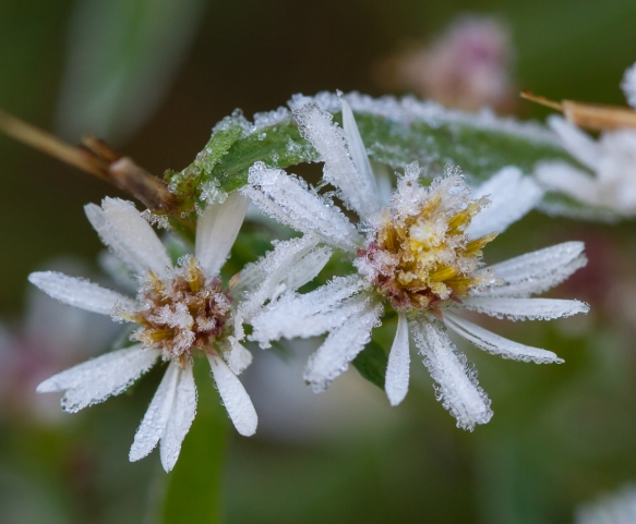 Frost Aster flower
