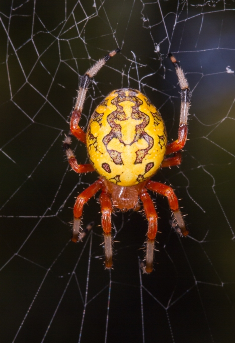 Marbled Orb Weaver at Umstead