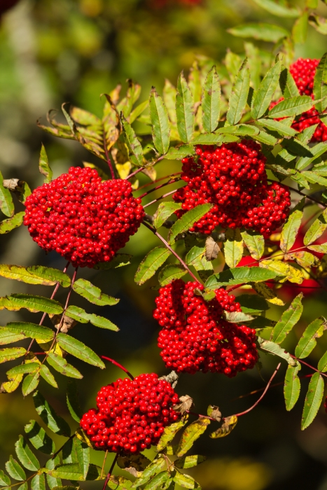 Mountain Ash berries 1g