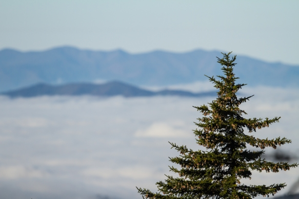 Red Spruce against ocean of clouds