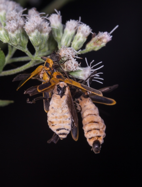Soldier Beetles parasitized by fungus 1