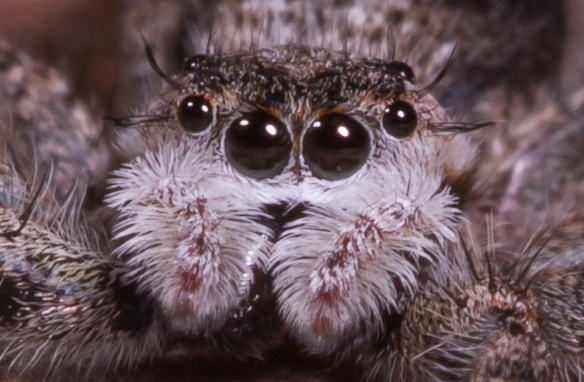 Tan Jumping Spider close-up