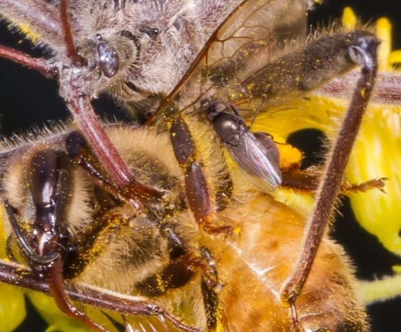 Wheel Bug and bee with freeloader flies close up