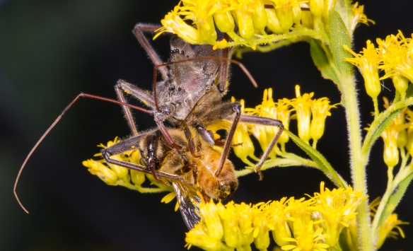 Wheel Bug and bee with freeloader flies