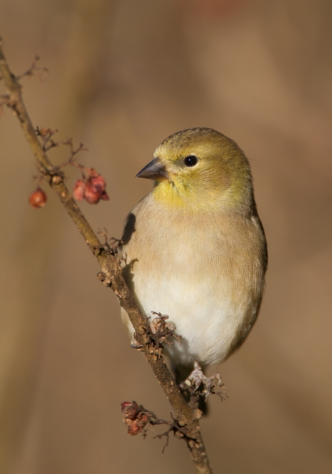 American Goldfinch winter