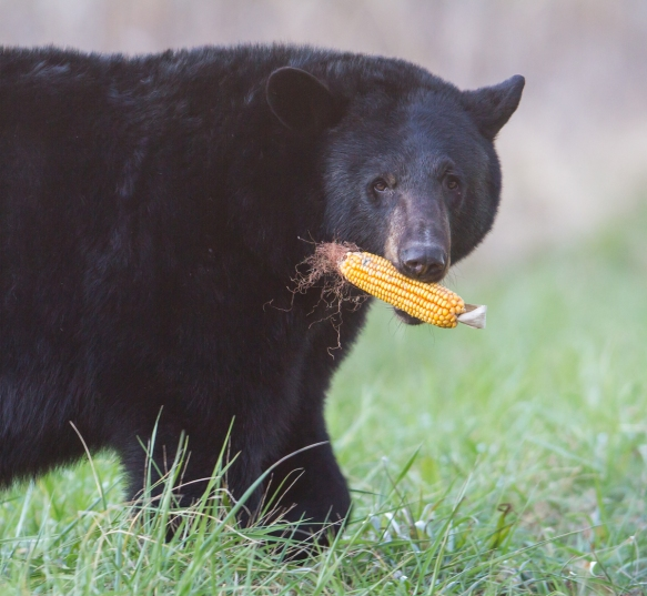 Bear carrying ear of corn