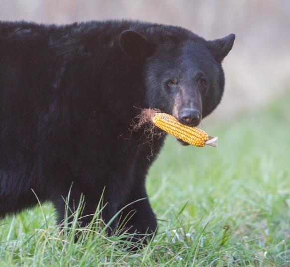 Bear carrying ear of corn