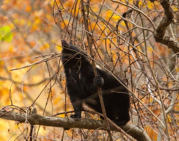 Bear cub eating grapes 1