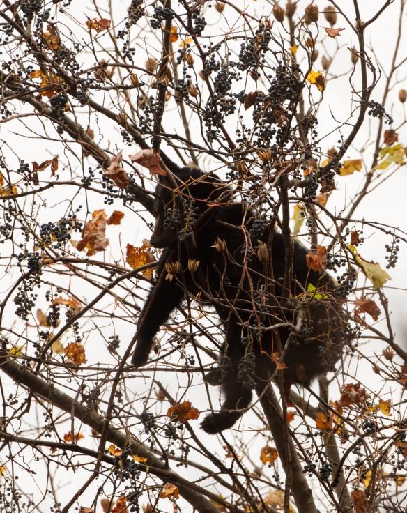 Bear cub sleeping in tree